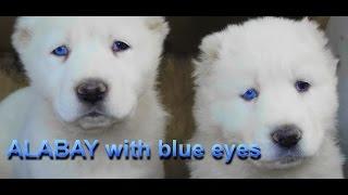 АЛАБАИ с ГОЛУБЫМИ ГЛАЗАМИ. Blue eyes. Alabai Alabai Odessa.