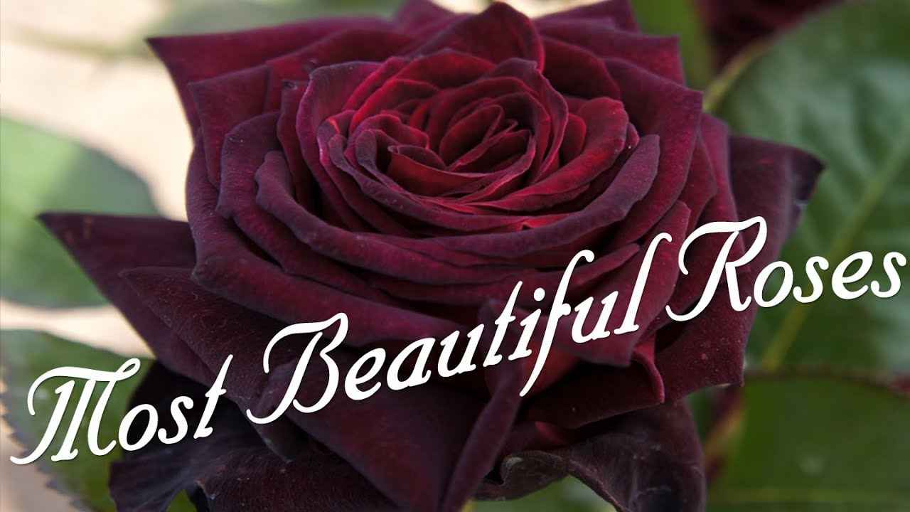 Download Most Beautiful Roses In The World
