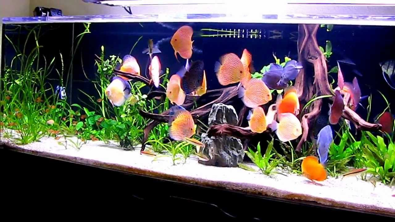 Tuan's 240 Gallons Planted Discus Tank - YouTube 10 Gallon Fish Tank Ideas