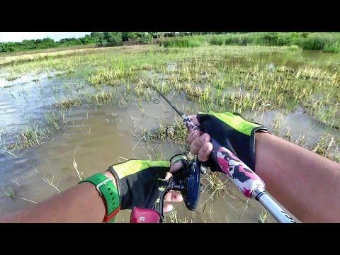Casting Ikan HARUAN @ GABUS Di SAWAH