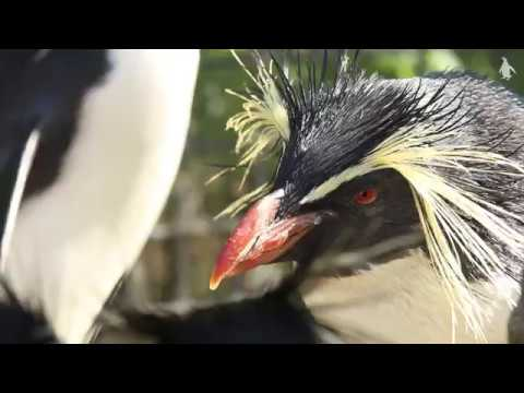 Northern rockhopper penguins - RZSS Edinburgh Zoo