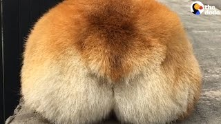 Corgi Butts Compilation Will Brighten Your Day   The Dodo