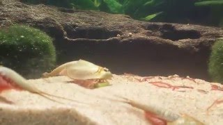 Triops and Minnows in aquarium.