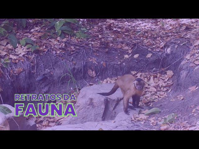 RETRATOS DA FAUNA #11 - MACACO-PREGO