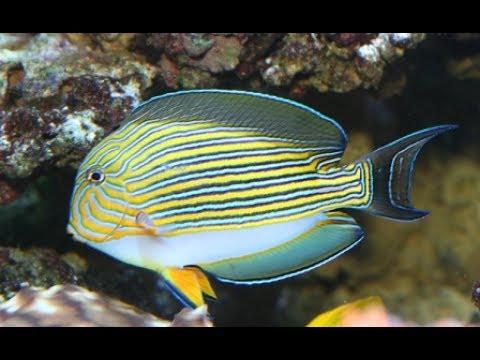 Clown Tangs Beautiful Cheap Active Reef Safe