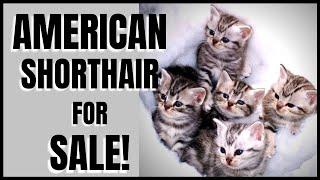 American Shorthair Kittens for Sale!