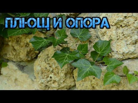 Плющ обыкновенный - Комнатные растения и цветы.