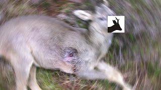 Result of poor head shooting. Roe deer stalking / hunting.