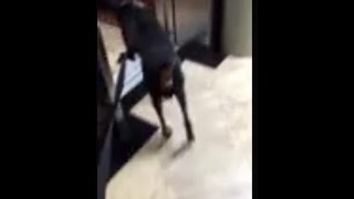 My 100 Pound Doberman Using The Elevator At A Hotel
