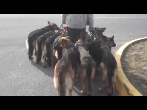 10 German Shepherds & 1 man
