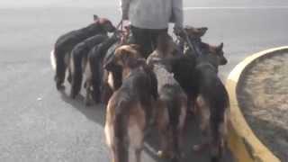 10 German Shepherds & 1 Man
