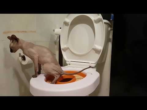 Sphynx cat go to toilet / Just perfect / DonSphynx