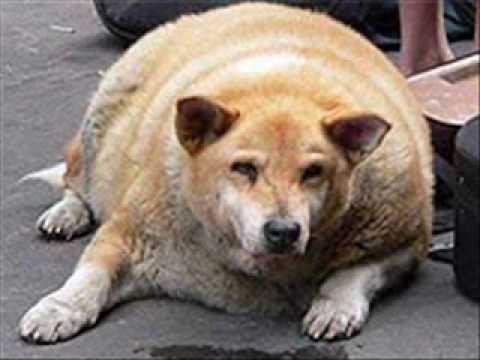 fettester hund der welt