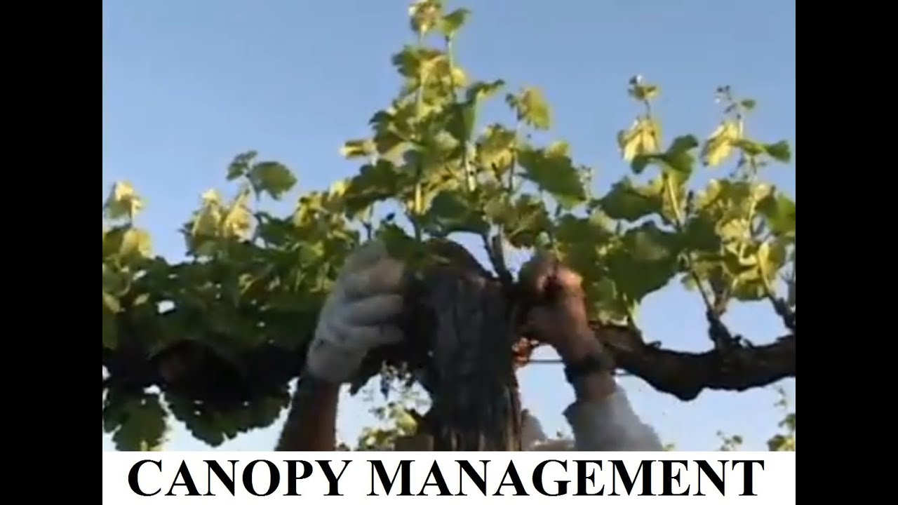 Cakebread Cellars Canopy Management & Cakebread Cellars Canopy Management - YouTube