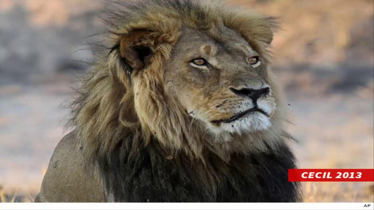 Cecil the lion's son has 'met the same fate'  killed in a trophy hunt in Zimbabwe, reports say