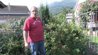 Aronia melanocarpa - Apfelbeere vor der Ernte