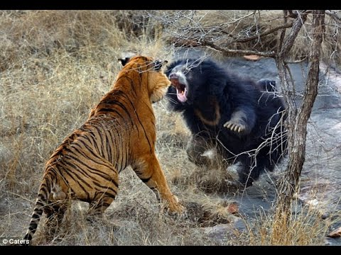 tigre du Bengale ours attaque HD YouTube