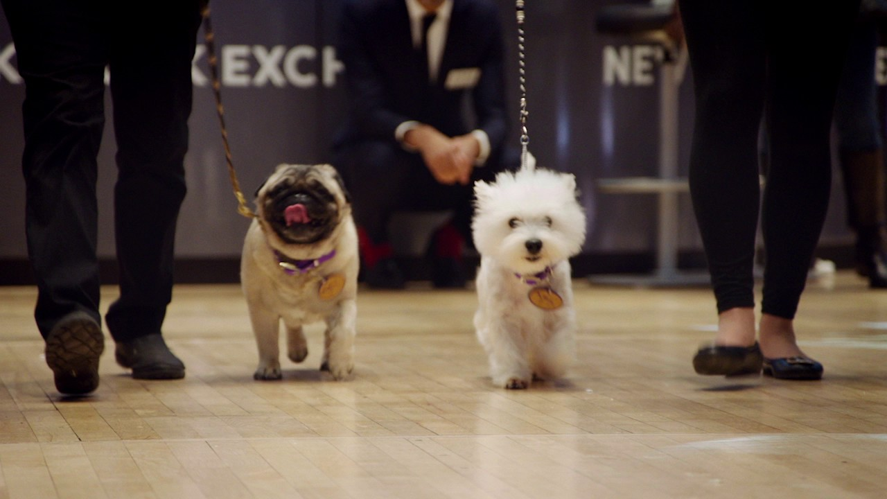 Westminster Dog Show: Pug & Westie visit the New York Stock Exchange
