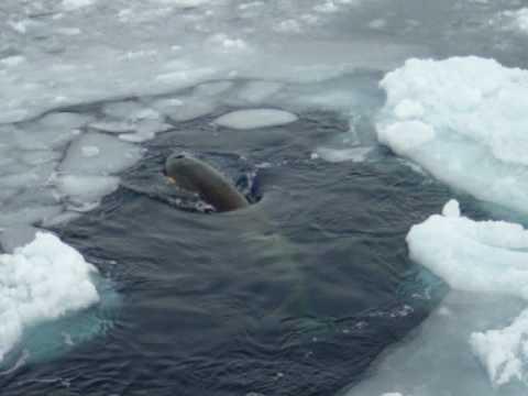 Orca Whale type C w/ twins Ross Sea Antarctica