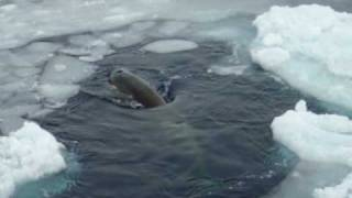 Orca Whale type C w/ twins Ross Sea Antarctica