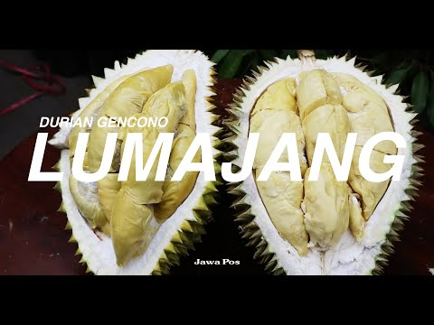 Jawa Pos Belah Durian Edisi 7: Durian Gencono Lumajang