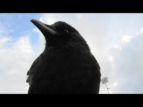 who is canuck the crow youtube. Black Bedroom Furniture Sets. Home Design Ideas