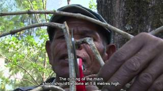 Coffee Good Agricultural Practices in East-Timor