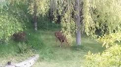 Momma deer nursing fawn at home in our birch and willow grove