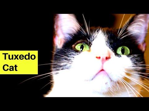 The World's Greatest Tuxedo Cat - Tuxedo Cats Being Cute (Cat Behavior 101)