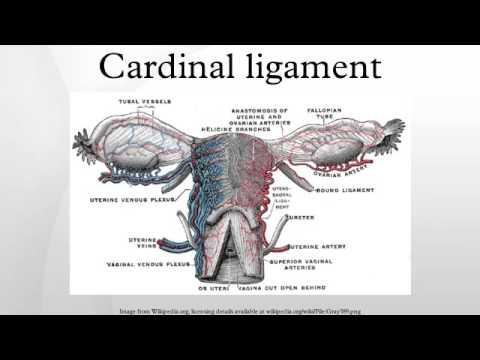 Uterus anatomy ligaments