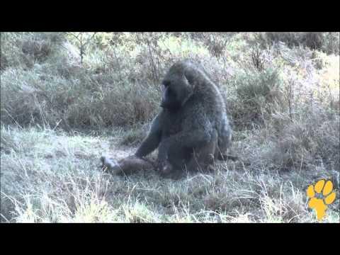 Дикая Африка. Природа Кении - павиан поедает газель