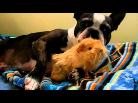 Boston Terrier and baby Guinea pig