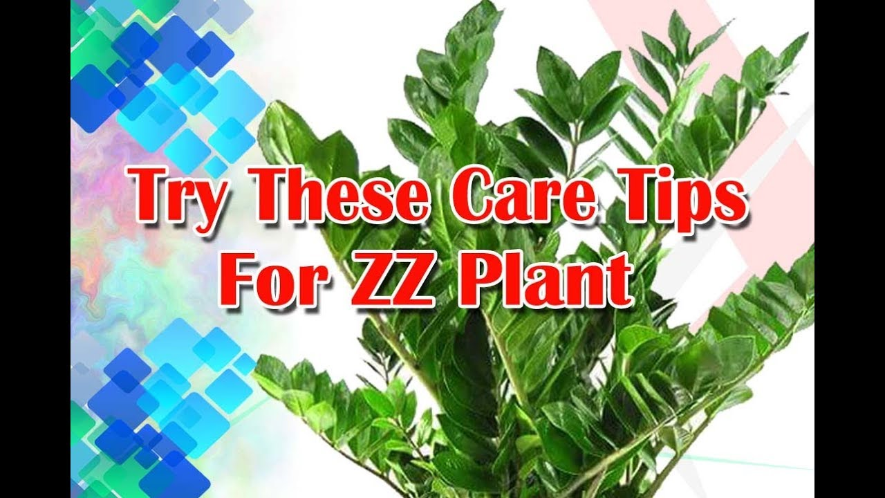 Try These care Tips for ZZ Plant, @ Beautiful ZZ Plant ... on Zz Plant Care  id=62956
