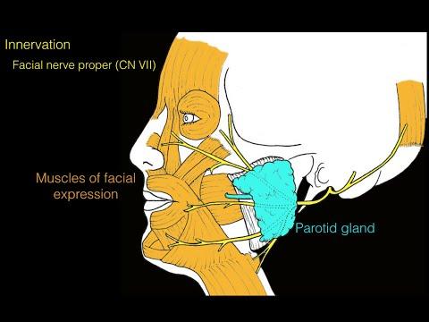 Facial nerve and facial muscles