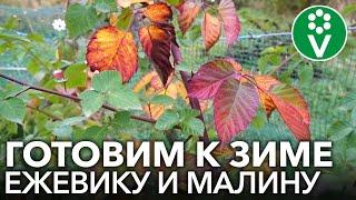 Как ОБРЕЗАТЬ ЕЖЕВИКУ И МАЛИНУ РЕМОНТАНТНУЮ ОСЕНЬЮ для богатого урожая в следующем году