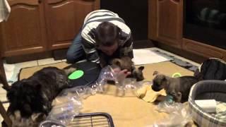 "Cairn Terrier Welpen "" Vom Farbenspiel "" 5. Woche 9.1.2015/ Cairn Terrier Puppies"