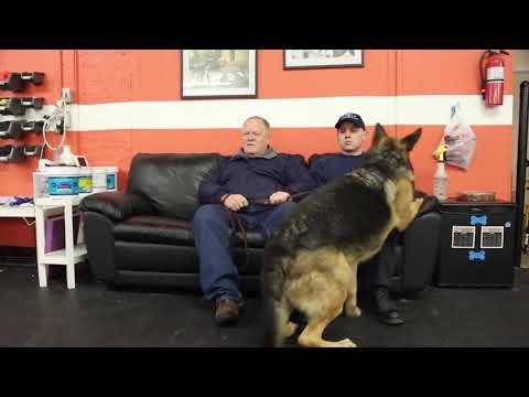 Dog Training | Frankie starts board & train | Solid K9 Training Dog Training