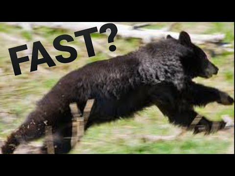 How fast can black bear run?