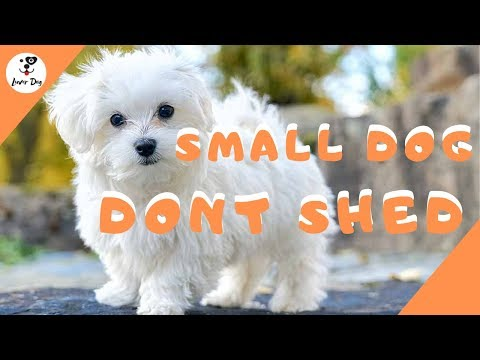 Best 10 Small Dogs That Don't Shed