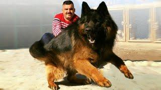 10 Ultimate Shepherd Dog Breeds