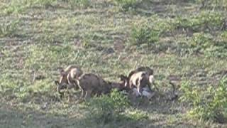 pack of african wild dogs killing an impala