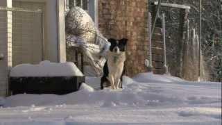 Border Collie Rescue - Snow Break