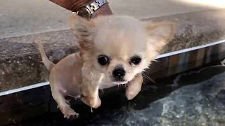 Teeny tiny chihuahua puppy can't stop swimming once he starts..