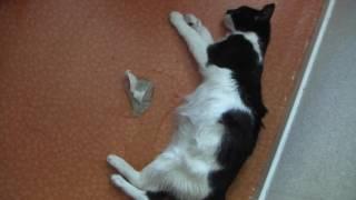 FIP in Cat