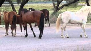 Salt River Wild Stallions Checking Each Other Out