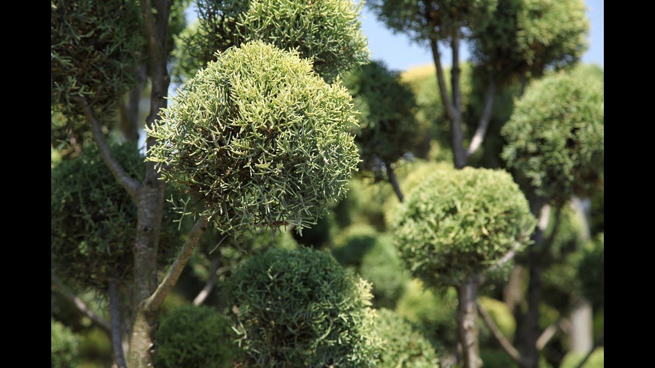 Cypr s leylandii youtube for Bonsai artificiel grande taille