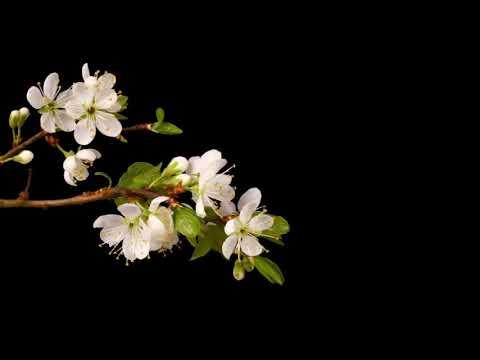 Video Background HD    Hoa nở cức đẹp cho proshow