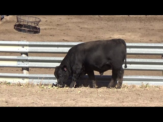 Connealy Angus Lot 61