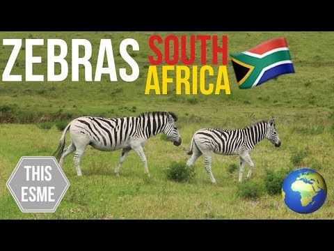 Zebras in South Africa! | My Travel Diary in South Africa 2018 | This Esme