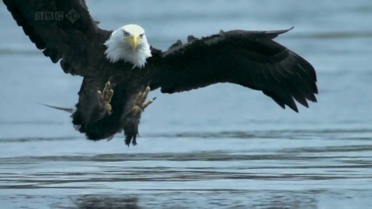 How Does A Bald Eagle Get Its Food